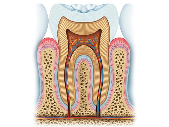 Struktura parodonta
